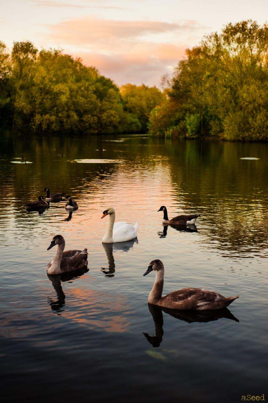 le lac des cygnes    photographe  u00e0 nice