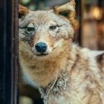 Fashion wolf